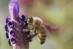 Abeja que recolecta el polen Foto de archivo