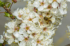 Abeja que recolecta el polen Imagen de archivo