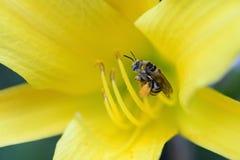 Abeja que recolecta el polen Fotografía de archivo