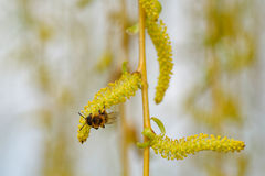 Abeja que recolecta el polen Imágenes de archivo libres de regalías