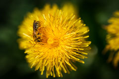 Abeja que recolecta el polen Fotos de archivo