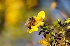 Abeja que recolecta el polen de la flor amarilla en el desierto Foto de archivo libre de regalías