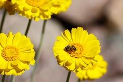 Abeja que recolecta el polen de la flor amarilla en el desierto Imagenes de archivo