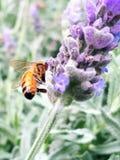 Abeja que recolecta el polen de la flor de la lavanda Imagen de archivo libre de regalías