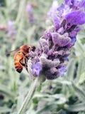 Abeja que recolecta el polen de la flor de la lavanda Imagenes de archivo
