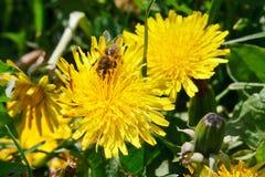 Abeja que recolecta el polen de la flor del diente de león Fotos de archivo libres de regalías