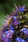 Abeja que recolecta el polen de las flores azules y púrpuras Foto de archivo libre de regalías