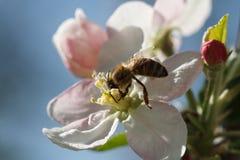 Abeja que recolecta el polen de las flores de los manzanos Foto de archivo libre de regalías