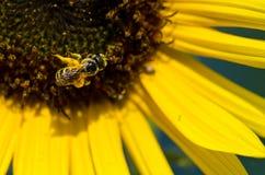 Abeja que recolecta el polen de oro de un girasol amarillo Foto de archivo libre de regalías