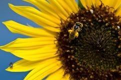 Abeja que recolecta el polen de oro de un girasol amarillo Fotografía de archivo libre de regalías