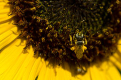 Abeja que recolecta el polen de oro de un girasol amarillo Imagenes de archivo