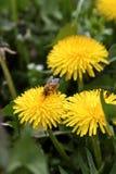 Abeja que recolecta el polen de un diente de león amarillo Fotos de archivo