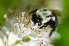 Abeja que recolecta el polen de una flor blanca Fotos de archivo