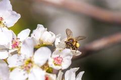 Abeja que recolecta el polen de una flor de cerezo blanca Imagen de archivo