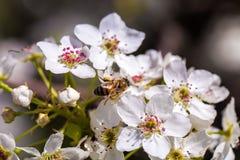 Abeja que recolecta el polen de una flor de cerezo blanca Imagen de archivo libre de regalías