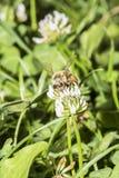 Abeja que recolecta el polen de una flor del trébol Imágenes de archivo libres de regalías