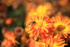 Abeja que recolecta el polen en amarillo Fotos de archivo libres de regalías
