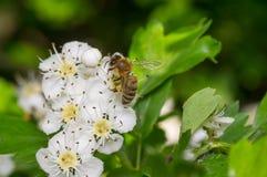 Abeja que recolecta el polen en cerezo del pájaro Foto de archivo libre de regalías