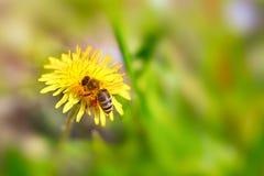 Abeja que recolecta el polen en el diente de león Imagenes de archivo