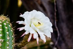 Abeja que recolecta el polen en el flor blanco del cactus del gigante de Argentina Foto de archivo libre de regalías
