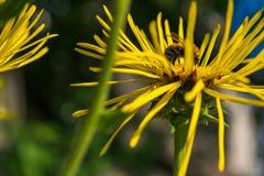 Abeja que recolecta el polen en el Inula floreciente Foto de archivo libre de regalías