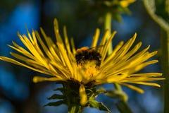 Abeja que recolecta el polen en el Inula floreciente Fotografía de archivo