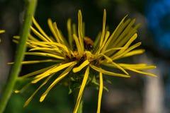 Abeja que recolecta el polen en el Inula floreciente Imágenes de archivo libres de regalías
