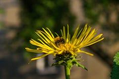 Abeja que recolecta el polen en el Inula floreciente Fotos de archivo