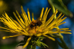 Abeja que recolecta el polen en el Inula floreciente Foto de archivo