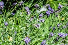 Abeja que recolecta en la floración de la lavanda Foto de archivo libre de regalías