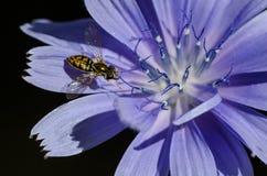 Abeja que recolecta incansable el polen de una flor azul minúscula Foto de archivo