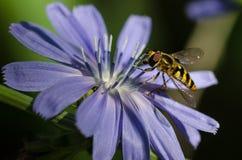 Abeja que recolecta incansable el polen de una flor azul minúscula Fotografía de archivo