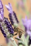 Abeja que recolecta la lavanda del polen Imágenes de archivo libres de regalías