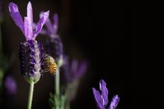 Abeja que recolecta la lavanda 2 del polen Imágenes de archivo libres de regalías