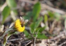 Abeja que recolecta la miel Foto de archivo libre de regalías