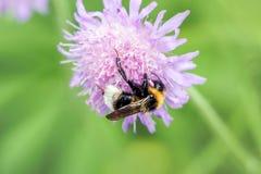 Abeja que recolecta la miel de la flor roja Fotos de archivo libres de regalías