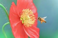 Abeja que recolecta la miel de la flor roja Foto de archivo libre de regalías