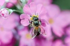 Abeja que recolecta la miel de la flor roja Imagenes de archivo