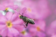 Abeja que recolecta la miel de la flor roja Imagen de archivo libre de regalías