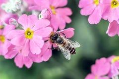 Abeja que recolecta la miel de la flor roja Imágenes de archivo libres de regalías