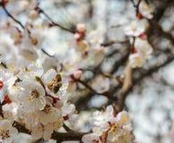 Abeja que recolecta la miel de un árbol de almendra de la flor Fotos de archivo