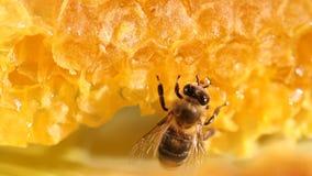 Abeja que recolecta la miel y el néctar almacen de metraje de vídeo