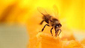 Abeja que recolecta la miel y el néctar almacen de video