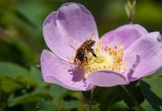 Abeja que recolecta Pollen1 Imagen de archivo