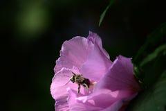 Abeja que sale de la flor Imagenes de archivo