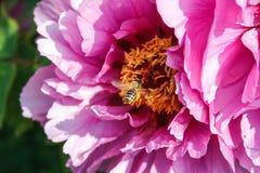 Abeja que se acerca a una flor Fotografía de archivo