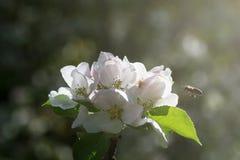 Abeja que se acerca a una flor blanca Fotografía de archivo libre de regalías