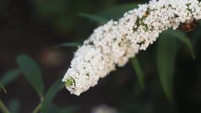 Abeja que se arrastra a lo largo del brote de una macro blanca de la flor de la primavera cierre de la naturaleza de la primavera almacen de metraje de vídeo