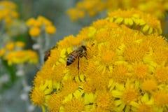 Abeja que se arrastra a través de las flores amarillas llenadas polen Imágenes de archivo libres de regalías