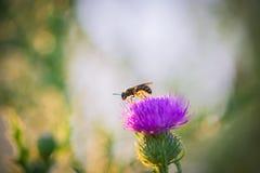 Abeja que se coloca en una flor Fotos de archivo libres de regalías